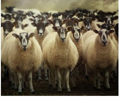 两群羊的选择